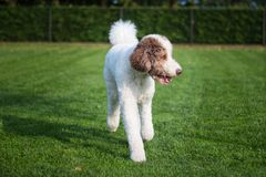 Dog poodle white Stock Images