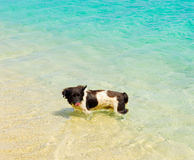 A dog cooling off in the caribbean sea. A pup enjoying the cooling water at lower bay beach, bequia Royalty Free Stock Photography