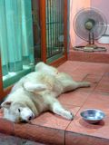 Dog cooling off. By the fan in the Bangkok heat. It`s a fluffy husky in the tropical heat stock photos