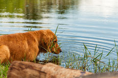 Dog cooling off in lake water. Dog entering the lake Stock Image
