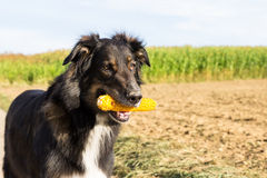 Dog with a corn cob. Dog retrieving a corn cob Royalty Free Stock Images