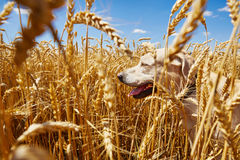 Dog in cornfield Royalty Free Stock Images