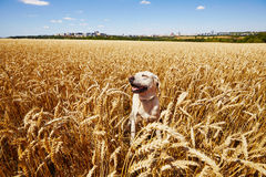 Dog in cornfield Stock Images
