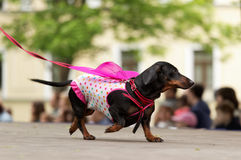 Dog in costume during Dachshund parade