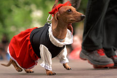 Dog in costume during Dachshund parade. St. Petersburg, Russia - May 28, 2016: Dog in costume of Little Red Riding Hood during Dachshund parade. The traditional Royalty Free Stock Photography