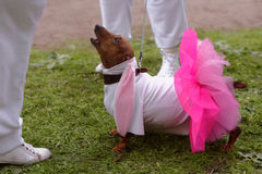 Dog in costume during Dachshund parade Stock Photo