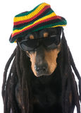 Dog in costume. Doberman dressed with dreadlocks on white background Stock Images