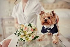 Dog costume groom smelling bouquet in hands of bride. Dog costume groom smelling bouquet Stock Photo