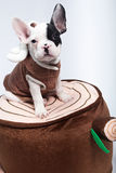 Dog on Costume. Puppy / dog wearing a costume Stock Photography
