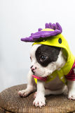 Dog on Costume. Puppy / dog wearing silly costume Royalty Free Stock Photography