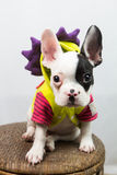 Dog on Costume. Puppy / dog wearing silly costume Stock Image
