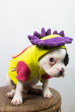 Dog on Costume. Puppy / dog wearing silly costume with an angry face Stock Images