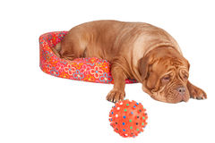 Dog in a cot Royalty Free Stock Photography