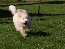 Dog Coton de Tulear Images stock