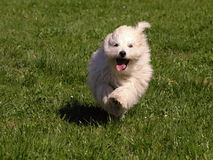 Dog Coton de Tulear Photographie stock libre de droits