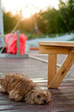 Dog on the cottage dock Stock Image