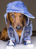 Dog in cotton cap Stock Image