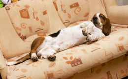 Dog on the couch Royalty Free Stock Images