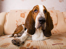 Dog on the couch. Dog breed basset-hound on the couch Royalty Free Stock Photography
