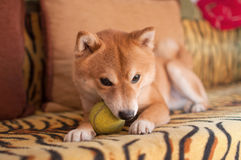 Dog on couch with ball Stock Photo