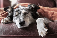 Dog on couch with blanket looking sad sick bored lonely. Border collie / Australian shepherd dog on leather couch with orange blanket Stock Image