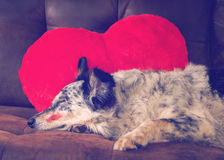 Dog on couch with heart pillow. Border collie Australian shepherd dog canine lying on couch with red valentine's day heart love pillow and lipstick kiss on cheek stock image