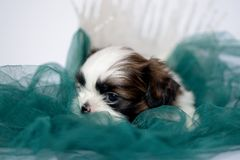 Puppy breed shitzu lying on a green lounger. royalty free stock photo