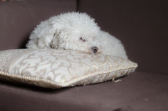 Dog in a couch 3 Royalty Free Stock Photography