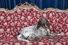Dog on couch. Pointer resting on couch in studio Stock Photos