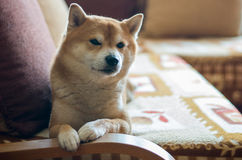 Dog on couch Stock Photography