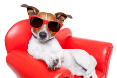 Dog couch or sofa. Dog sitting on red sofa relaxing and resting while chilling out Royalty Free Stock Images