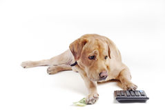 Dog count  on  calculator. Dog count money on the calculator Royalty Free Stock Images