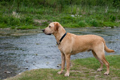 Dog at the countryside. A profile photo of a young Labrador at the countryside Royalty Free Stock Image