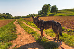 Dog and countryside Royalty Free Stock Image