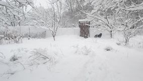 Dog in countryside in winter jumps on a wicket and. Snow falling heavily in countryside with snowdrifts covering land and trees. Active dog in winter jumps on a stock video footage