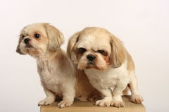 Dog Couple Stock Images