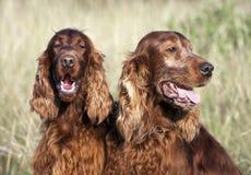 Dog couple Stock Photography