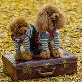 Dog couple. Cute dog sitting on a luggage Stock Photo