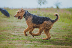 Dog coursing in fields Stock Images