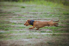 Dog coursing in fields Stock Photo