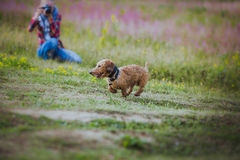 Dog coursing in fields Royalty Free Stock Photography