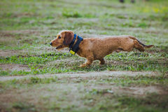 Dog coursing in fields Royalty Free Stock Images