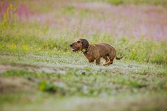 Dog coursing in fields Stock Photography