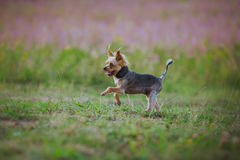 Dog coursing in fields Stock Photos