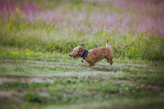 Dog coursing in fields Royalty Free Stock Photo