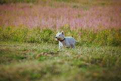 Dog coursing in fields Stock Image
