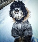 Dog covered in snow. Puppy dog covered in snow outside with jacket Royalty Free Stock Image