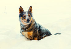 Dog covered with snow Royalty Free Stock Photos