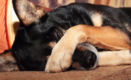 Dog covering nose. Sheep dog covering her eyes with her paw Royalty Free Stock Photography