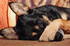 Dog covering nose. German shepherd dog covering her nose with her paw Royalty Free Stock Photos